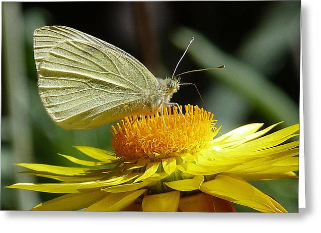 Cabbage White On Yellow Daisy Greeting Card by Margaret Saheed