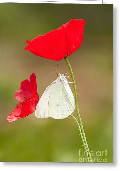 Large White Flower Close Up Greeting Cards - Cabbage White Pieris brassicae Greeting Card by Alon Meir