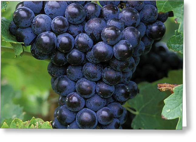 Cabernet Franc Grapes Greeting Card by Kevin Miller