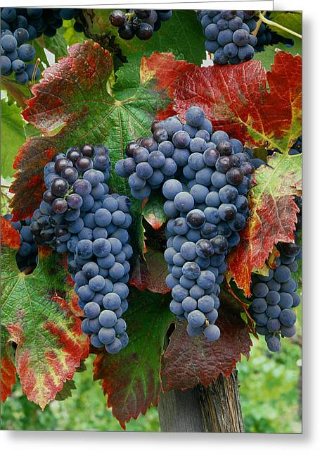 Calistoga Greeting Cards - Cabernet Sauvignon Grapes at Harvest Greeting Card by Ed  Cooper Photography