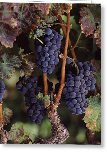 Winemaking Photographs Greeting Cards - Cabernet Sauvignon Grapes In Vineyard Greeting Card by Panoramic Images