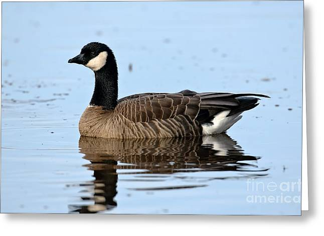 Cackle Greeting Cards - Cackling Goose In Water Greeting Card by Anthony Mercieca