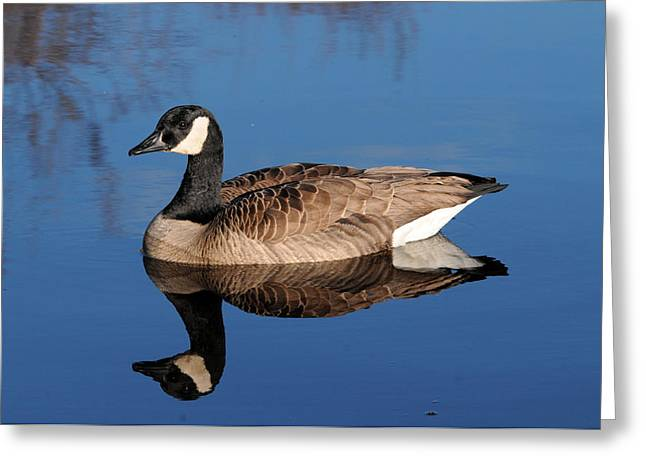 Cackle Greeting Cards - Cackling Goose Reflection Greeting Card by Jlt Photography
