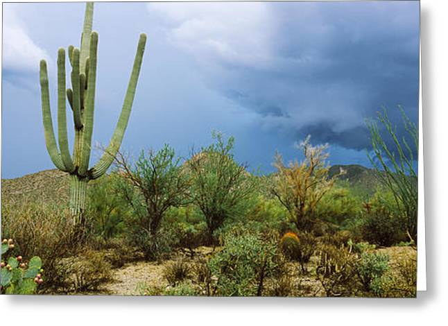 Cacti Growing At Saguaro National Park Greeting Card by Panoramic Images
