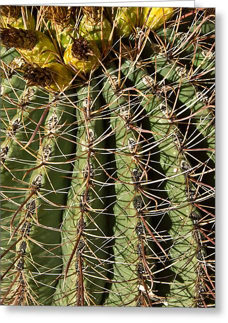 Caryophyllales Greeting Cards - Cactus About To Bloom 2 Greeting Card by Douglas Barnett