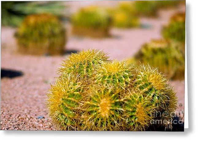 Rows Greeting Cards - Cactus Greeting Card by Amy Cicconi