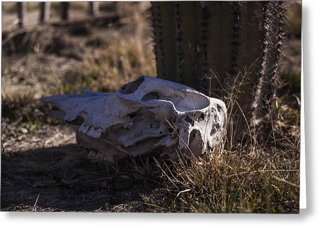 Cactus And Skull Greeting Card by Amber Kresge
