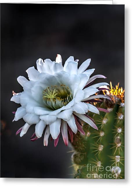Bloomer Greeting Cards - Cactus Beauty Greeting Card by Robert Bales