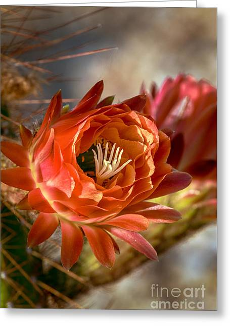 Bloomer Greeting Cards - Cactus Bud Greeting Card by Robert Bales