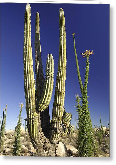 Cordoned Greeting Cards - Cactus Desert Greeting Card by Christian Heeb