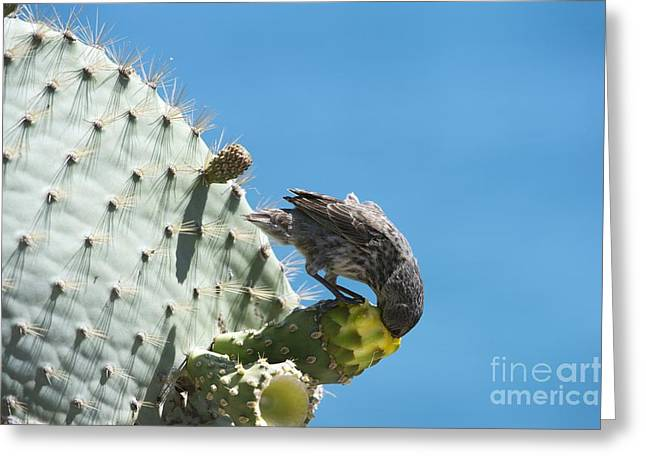 One Pear Greeting Cards - Cactus Finch Eating Prickly Pear Greeting Card by Dr P. Marazzi