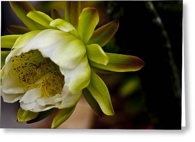 Yellow Flowers Framed Prints Greeting Cards - Cactus Flower 3 Greeting Card by Sharon Cummings