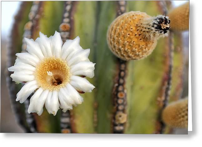 Ventana Greeting Cards - Cactus Flower Greeting Card by Christian Heeb