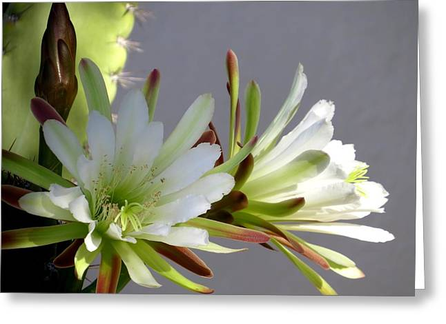 Plant Greeting Cards - Cactus in bloom Greeting Card by Zina Stromberg