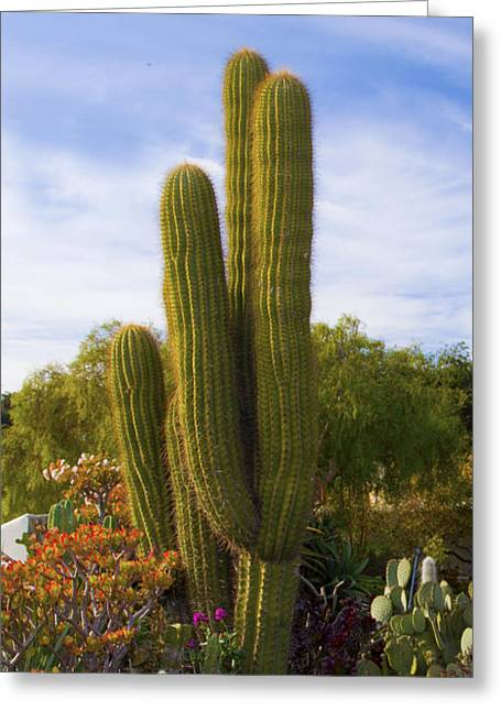 Cactus Flowers Digital Greeting Cards - Cactus Monterey California Greeting Card by Barbara Snyder