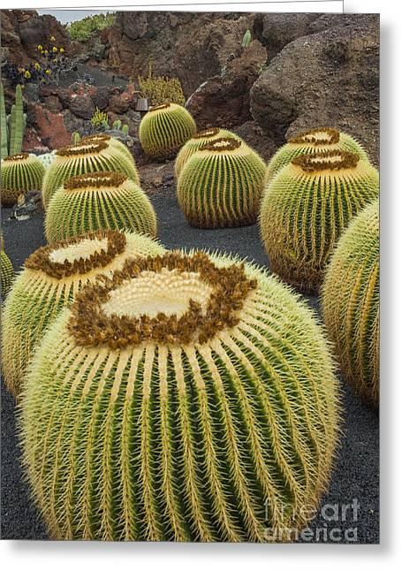 Cactus Plants On Lanzarote Greeting Card by Patricia Hofmeester