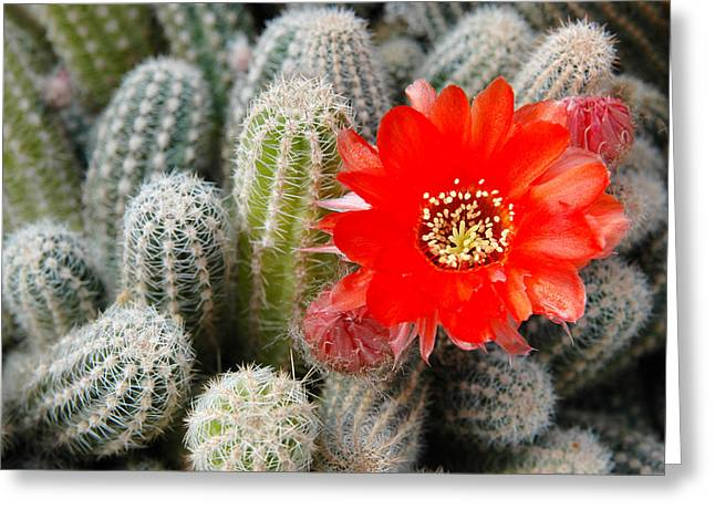 Cactus With Orange Flower.  Greeting Card by Rob Huntley