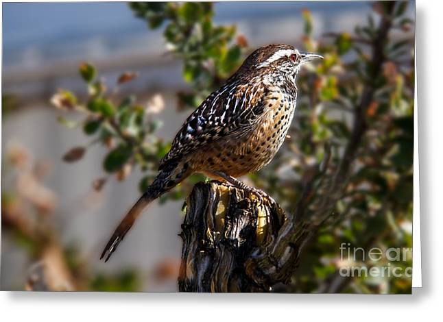 Back Yard Birds Greeting Cards - Cactus Wren Greeting Card by Robert Bales