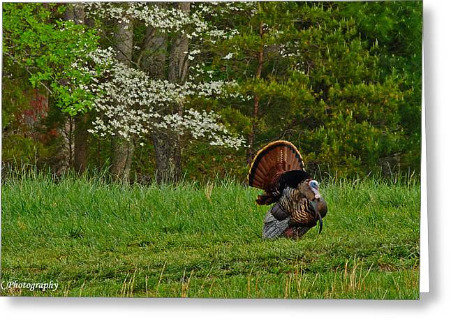 Spring Gobbler. Greeting Cards - Cades Cove Spring Visions Greeting Card by Brian Simpson