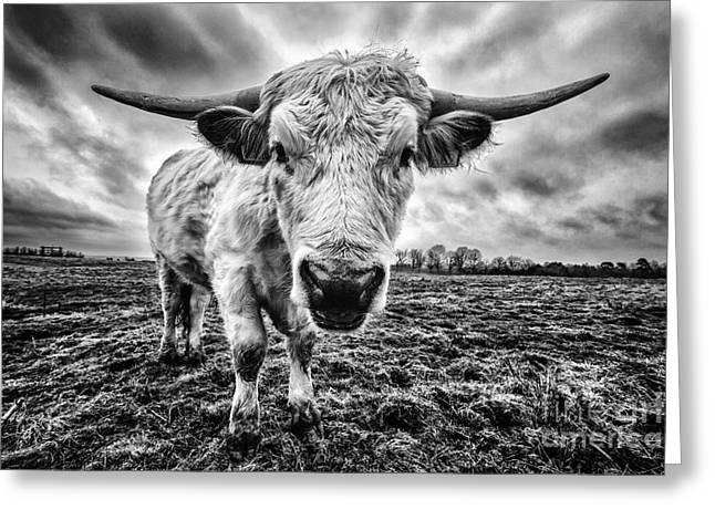 Cadzow White Cow Female Greeting Card by John Farnan
