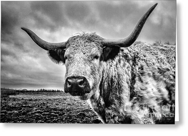 Steer Greeting Cards - Cadzow White Cow Greeting Card by John Farnan