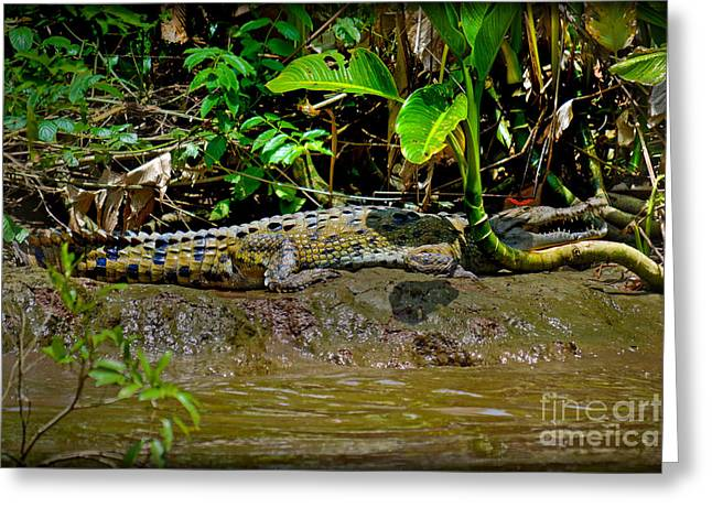 Caiman Cocodilus Greeting Card by Gary Keesler
