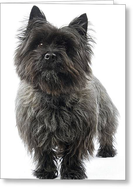 Breeds Greeting Cards - Cairn Terrier Dog Greeting Card by Jean-Michel Labat