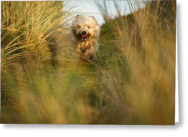 Throw Down Greeting Cards - Cairn terrier in the dunes Greeting Card by Izzy Standbridge