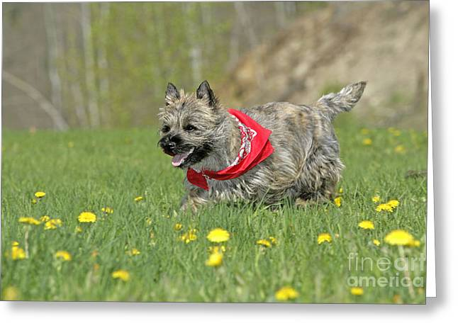 Kerchief Greeting Cards - Cairn Terrier Puppy Greeting Card by Rolf Kopfle