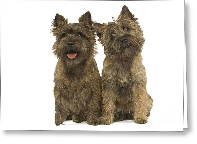 Best Friend Greeting Cards - Cairn Terriers Greeting Card by Jean-Michel Labat