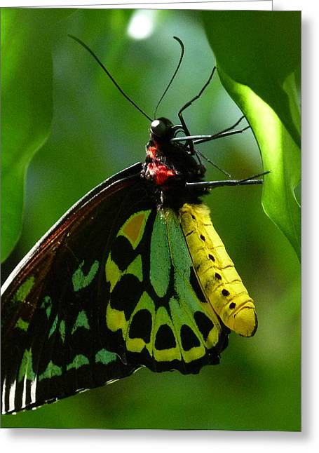 Saheed Greeting Cards - Cairns Birdwing Butterfly 3 Greeting Card by Margaret Saheed