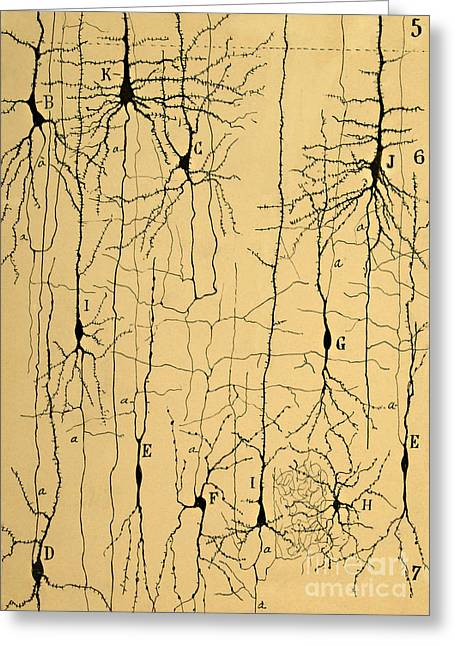 Illustration Greeting Cards - Cajal Drawing of Microscopic Structure of the Brain 1904 Greeting Card by Science Source