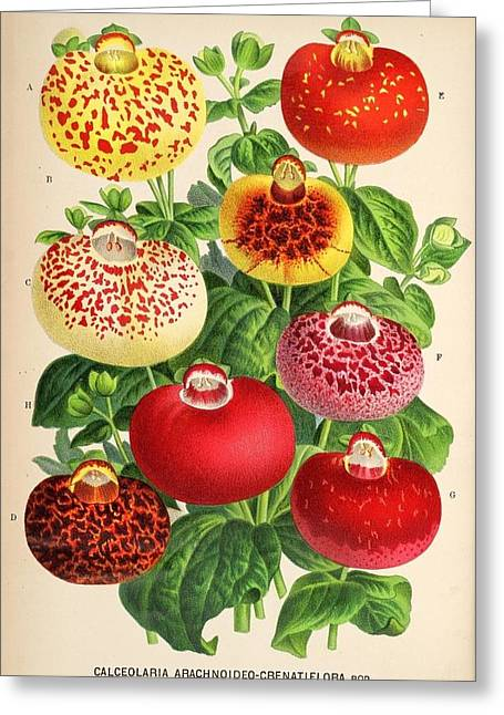 Office Plants Drawings Greeting Cards - Calceolaria from a vintage Belgian book of flora. Greeting Card by Philip Ralley