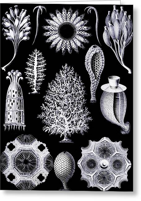 Kunstformen Der Natur Greeting Cards - Calcispongiae Greeting Card by Diane Addis