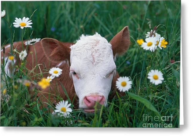 Domesticated Flower Greeting Cards - Calf Among Flowers Greeting Card by Hans Reinhard