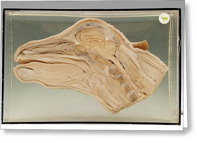 Calf Head Greeting Card by Ucl, Grant Museum Of Zoology
