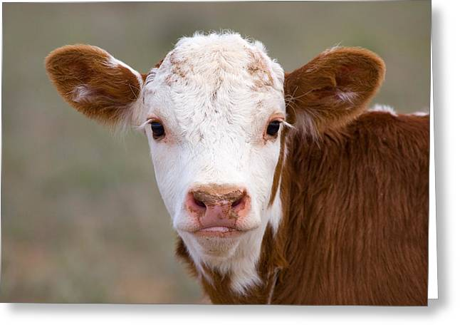 One Cow Greeting Cards - Calf Portrait Greeting Card by Panoramic Images