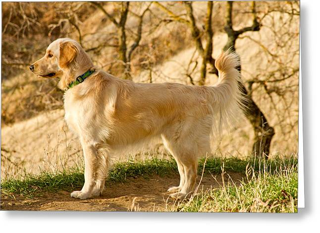 Dog Photographs Greeting Cards - Cali Gold Greeting Card by Bill Gallagher