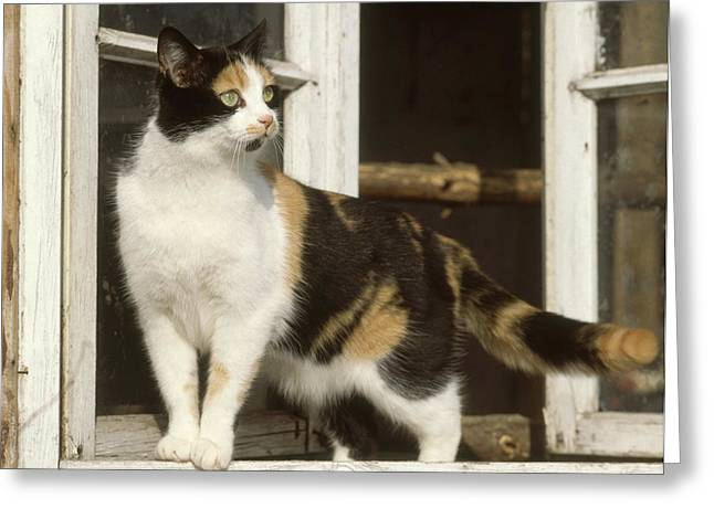 Window Ledge Photographs Greeting Cards - Calico Cat Greeting Card by Hans Reinhard