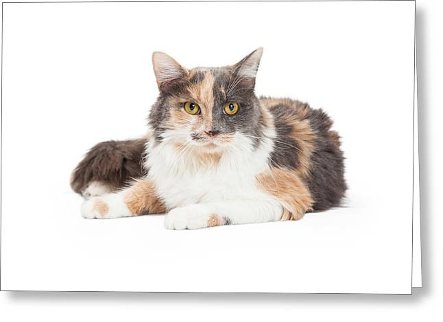Calico Greeting Cards - Calico Domestic Longhair Cat Laying Greeting Card by Susan  Schmitz