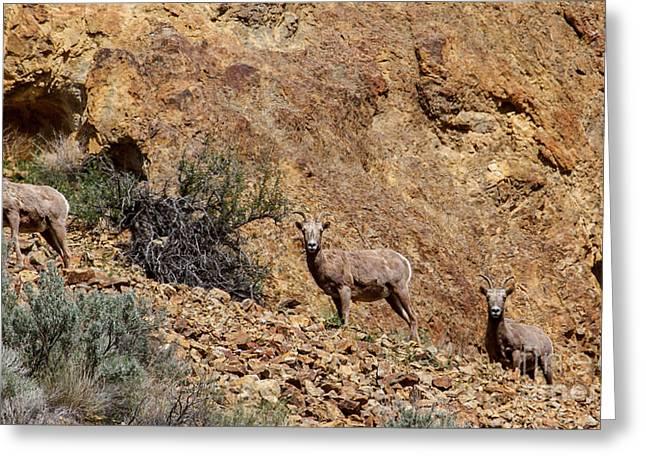 Rocky Mountain Sheep Greeting Cards - California Bighorn Sheep Greeting Card by Robert Bales