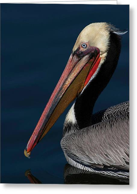 Zoology Greeting Cards - California Brown Pelican Portrait Greeting Card by Ram Vasudev