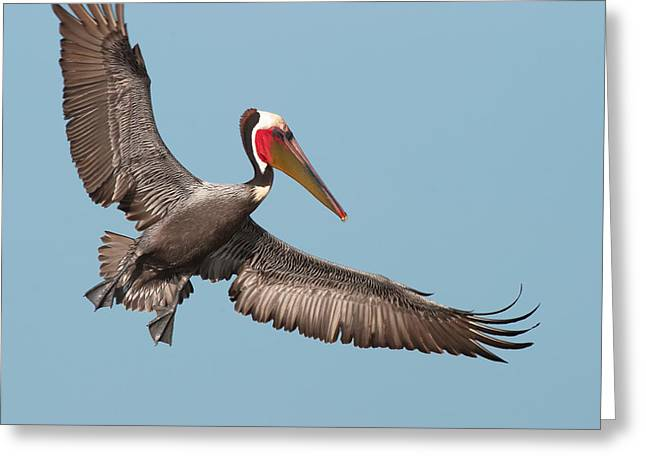 Zoology Greeting Cards - California Brown Pelican with Stretched Wings Greeting Card by Ram Vasudev