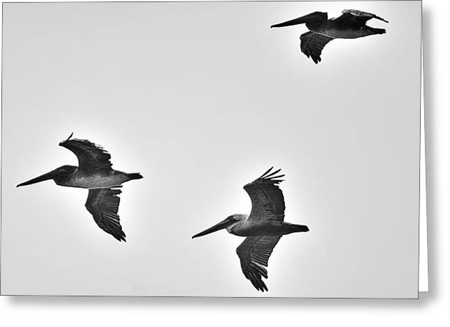 Flock Of Flying White Pelicans Greeting Cards - California Brown Pelicans in Black and White Greeting Card by Richard Cheski