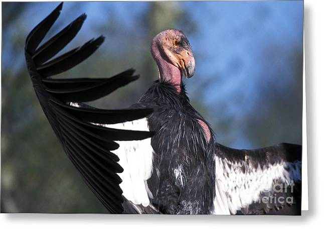 Condor Greeting Cards - California Condor Greeting Card by Mark Newman