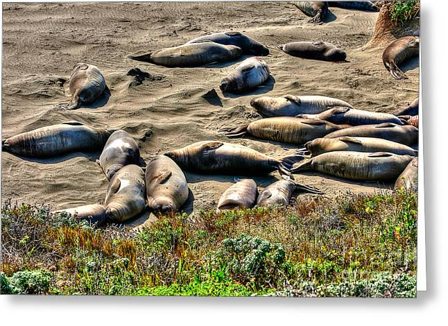 Elephant Seals Greeting Cards - California Dreaming Greeting Card by Jim Carrell