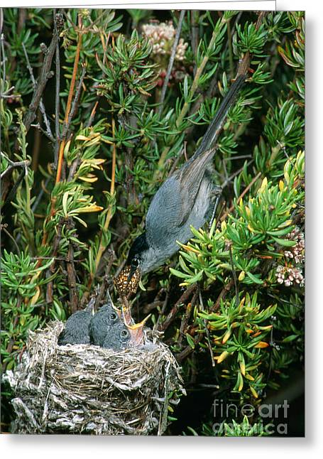 Feeding Young Greeting Cards - California Gnatcatcher Feeding Chicks Greeting Card by Anthony Mercieca