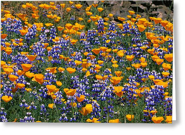 Flowers In California Greeting Cards - California Golden Poppies Eschscholzia Greeting Card by Panoramic Images