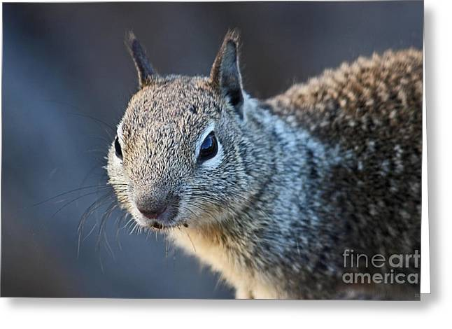 Gray Hair Greeting Cards - California Ground Squirrel 04 Greeting Card by Meleah Fotografie