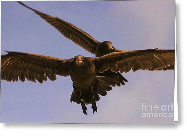 Flying Seagull Greeting Cards - California Gull Greeting Card by Ron Sanford